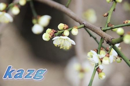 咲き初めた白梅の花(青軸)