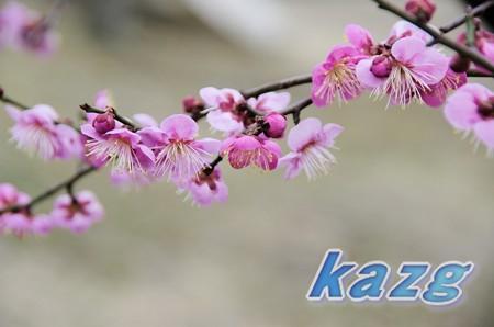 咲き初めた紅梅の花(千鳥)