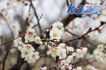 咲き初めた白梅の花(甲州小梅)