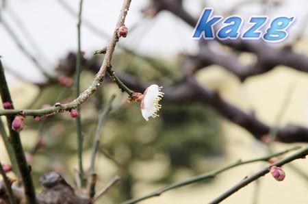 咲き初めた白梅の花(鶯宿)