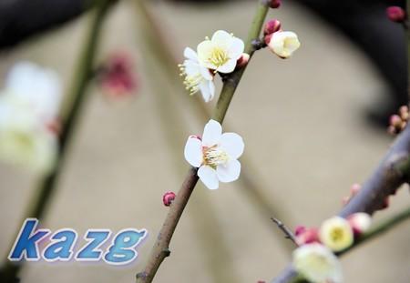 咲き初めた白梅の花(白加賀)