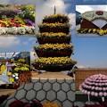 Photos: 南砺菊まつり