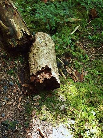 サルノコシカケが折った木