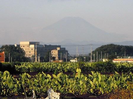 畑から富士を見る