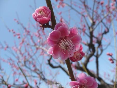 140308-大阪城梅林 (26)