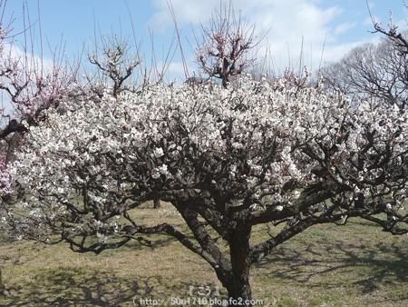 140308-大阪城梅林 (63)