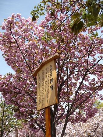 110417-造幣局 桜の通り抜け (16)