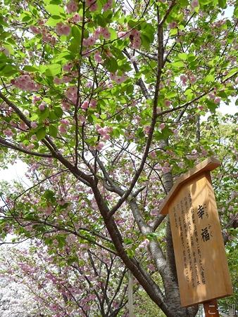 110417-造幣局 桜の通り抜け (95)