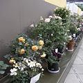 国バラ鉢植え
