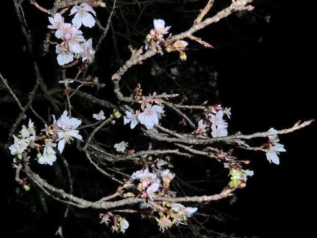 彦根城の散紅葉とひこにゃん (58)