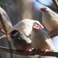 Photos: 文鳥たち@麻溝公園
