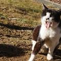 Photos: 白黒のら猫1