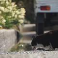 水を飲む猫@城ケ島