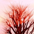 夕陽があたるケヤキの木