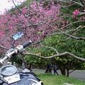 写真: 八重岳桜まつり(1)