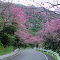 写真: 八重岳桜まつり(2)