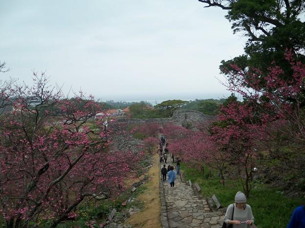 写真: 今帰仁グスク桜まつり(1)