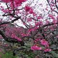 写真: 今帰仁グスク桜まつり(2)