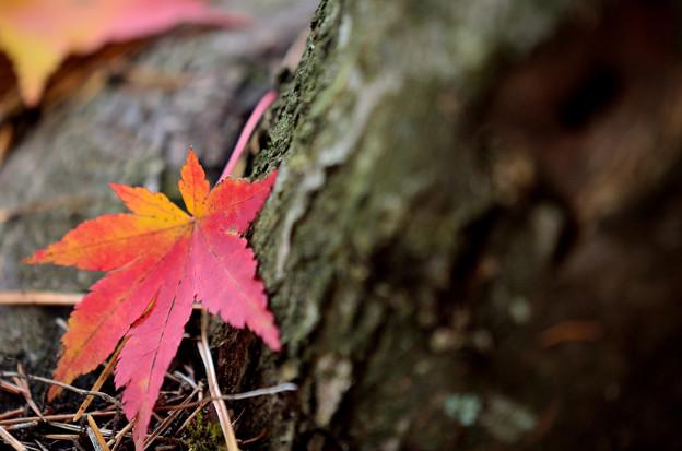 写真: 富士見高原の紅葉3