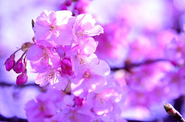 写真: 伊豆の河津桜