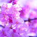 Photos: 伊豆の河津桜