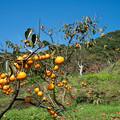 柿を求め気ままな散策 4