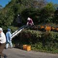 柿の収穫終えて