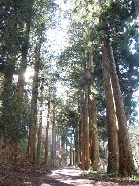 旧街道杉並木 (14)