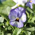 庭を彩る花々 ビオラ?