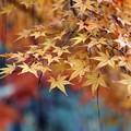紅葉に枯れ松落葉2