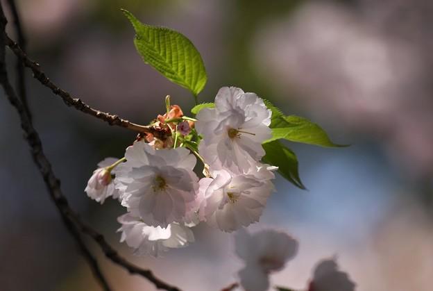 Photos: 桜花の頃