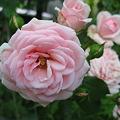 バラ ホーム&ガーデン
