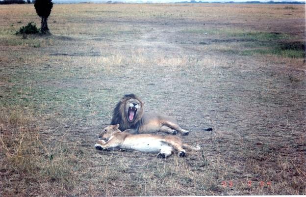 マサイマラ 吾輩はネコ科である I belong to Felidae、Masai Mara