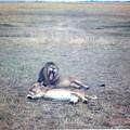 Photos: マサイマラ 吾輩はネコ科である I belong to Felidae、Masai Mara