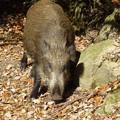 Photos: 冬支度の猪 落葉散り急ぐ六甲山 Wild boar in  Mount Rokkō