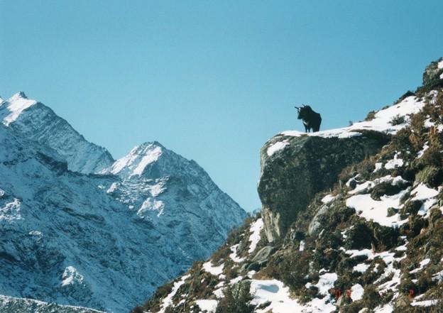 岩上のゾプキョ エベレスト街道 A dzo on the rock,Everest    *雪積もる岩の縁より見下ろして黒きゾプキョは何を見るらん