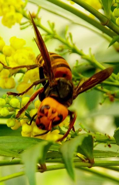 スズメバチの威嚇