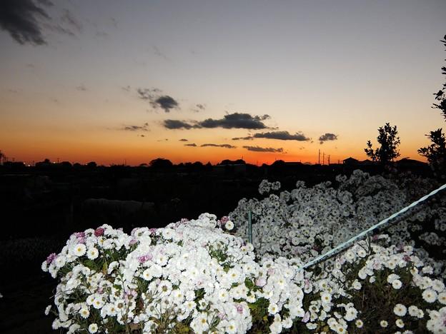 写真: 富士と白菊