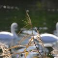 白鳥の軌跡 II