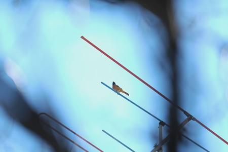 2014.10.29 和泉川 梅の木の間からジョウビタキ