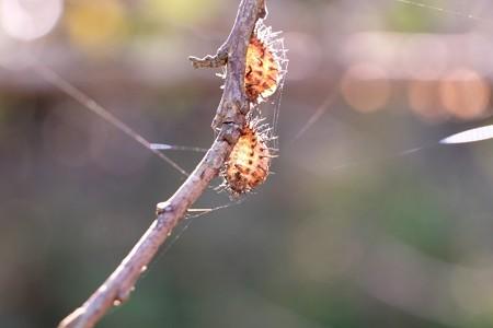 2014.11.07 瀬谷市民の森 梅の木にアカホシテントウ 抜殻