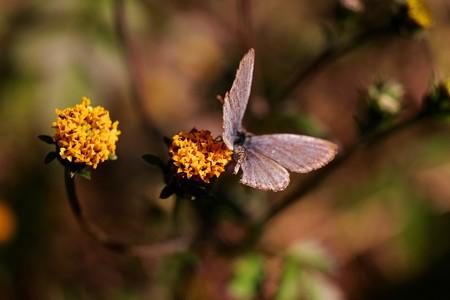 2014.11.21 追分市民の森 コセンダグサにヤマトシジミ