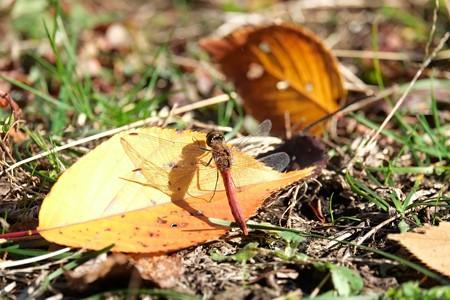 2014.12.03 追分市民の森 桜の落葉にアキアカネ