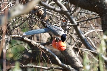 2014.12.08 追分市民の森 柿にオナガ