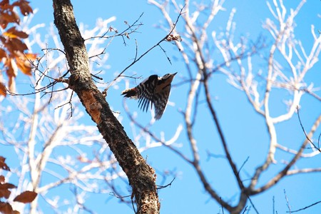 2014.12.18 瀬谷市民の森 アカゲラ 飛翔