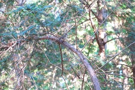 2014.12.22 瀬谷市民の森 シロハラ
