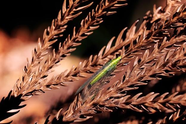 2014.12.23 瀬谷市民の森 杉の枯葉にヤマトクサカゲロウ