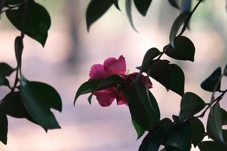 2015.01.03 瀬谷市民の森 ヤマツバキ