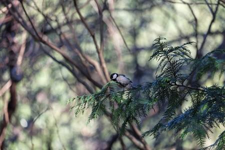 2015.01.05 瀬谷市民の森  ヒノキにシジュウカラ