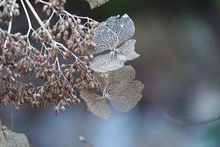2015.01.10 瀬谷市民の森 紫陽花 寂びる